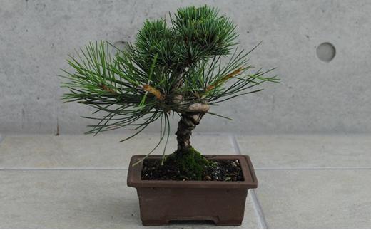 [№5707-0335]植木のまちより、手軽にミニ盆栽はじめませんか?[なんじゃこりゃ?ゴヨウマツクロマツ]