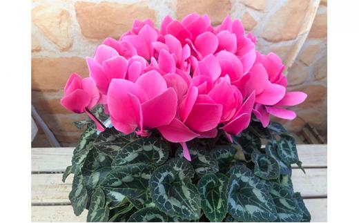 [№5809-4036]高級シクラメン鉢植え ピンク系5号
