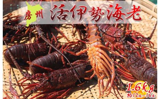 【訳あり】房州産 活き伊勢海老 1.6kg(約12尾~16尾)