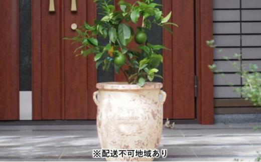 の 木 レモン レモンの木の育て方・栽培|鉢植えでも収穫できる?苗木を大きくするコツは?|🍀GreenSnap(グリーンスナップ)
