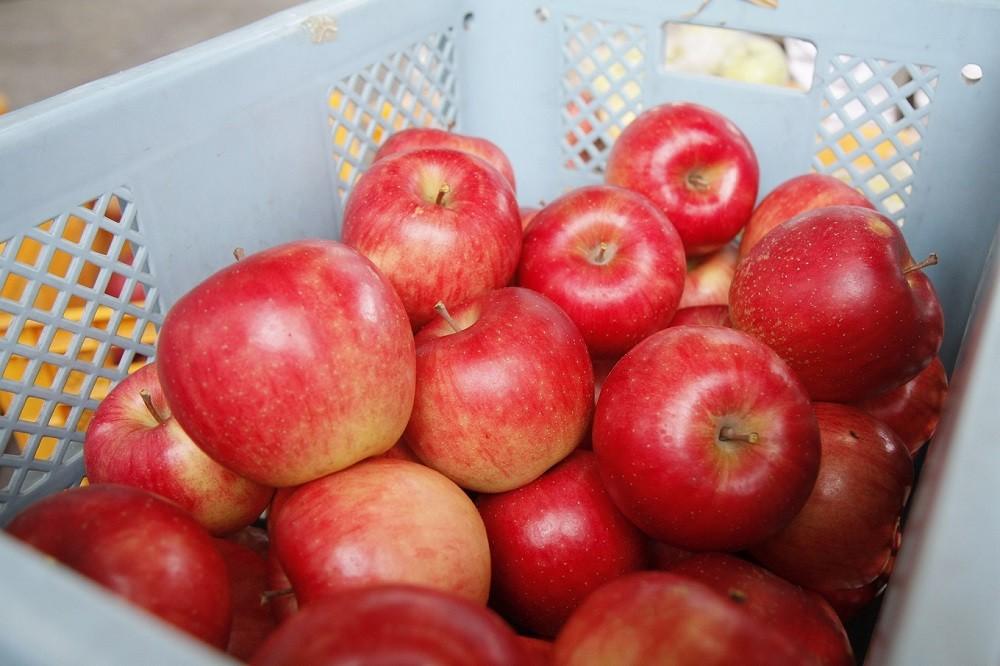 市場出荷できない規格外のりんご。しかし、味はお買い得!!