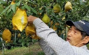 西洋梨の収穫をする 長 重人 さん
