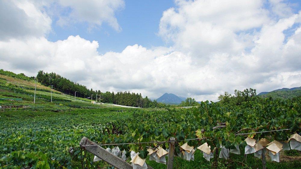 「敷島醸造」の自社農場である葡萄畑