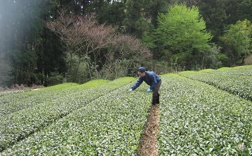 お茶の管理をする大塚さん