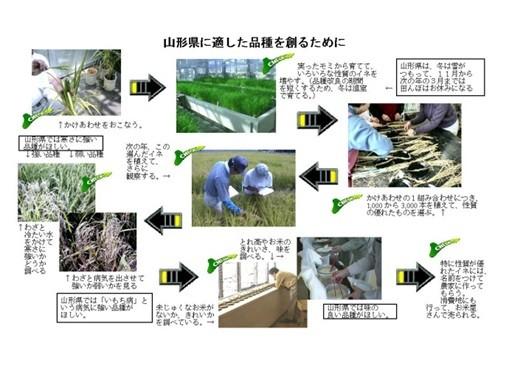 お米の新品種開発における作業工程の概要