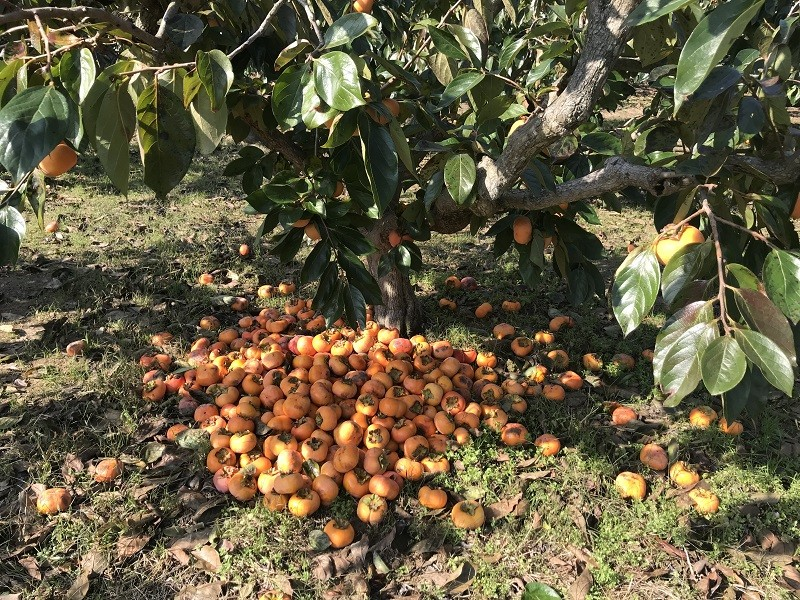 昨年襲来した台風22号の影響により、キズがつき出荷できなくなった柿
