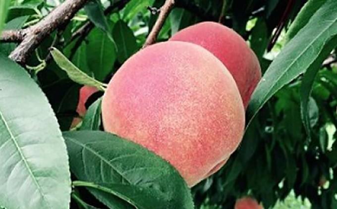 肉質が柔らかく、甘みの強い桃