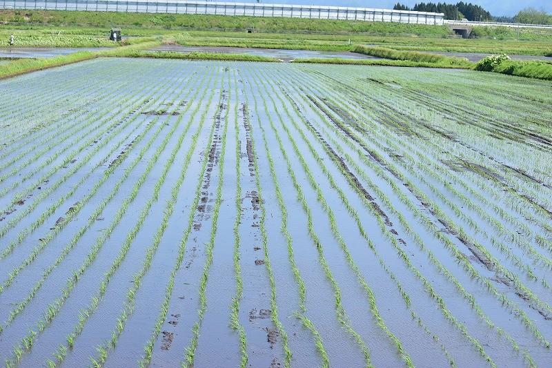 田植え終了!まだまだ米づくりは続きます。