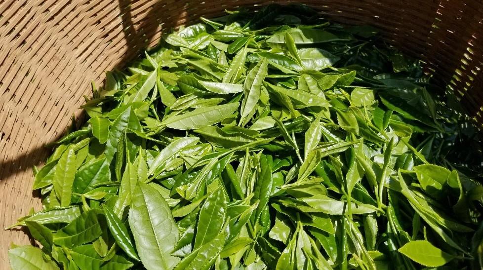 収穫された茶葉は、釜炒り緑茶、高級烏龍茶、和紅茶へ加工されます。