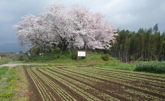 東尾の春 大塚古墳のふもとのそば畑