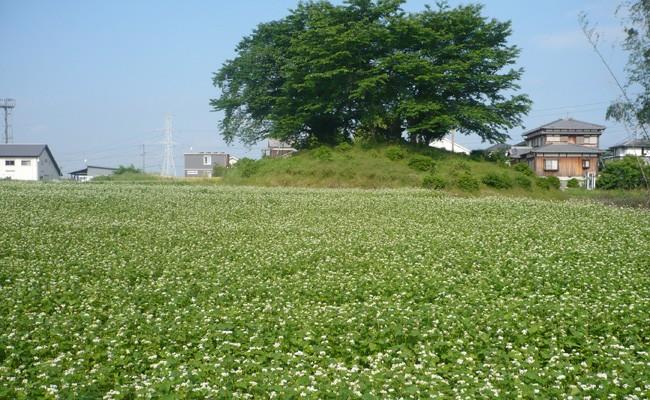 大塚古墳(写真奥、桜の木)と、一面の蕎麦の花畑