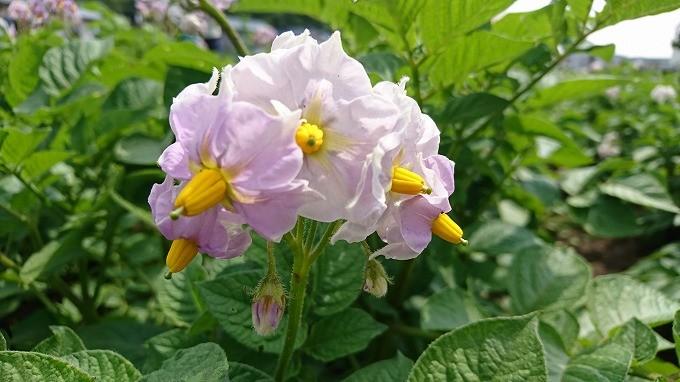 馬鈴薯の花