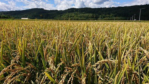 秋晴れの中、稲刈りが行われています。