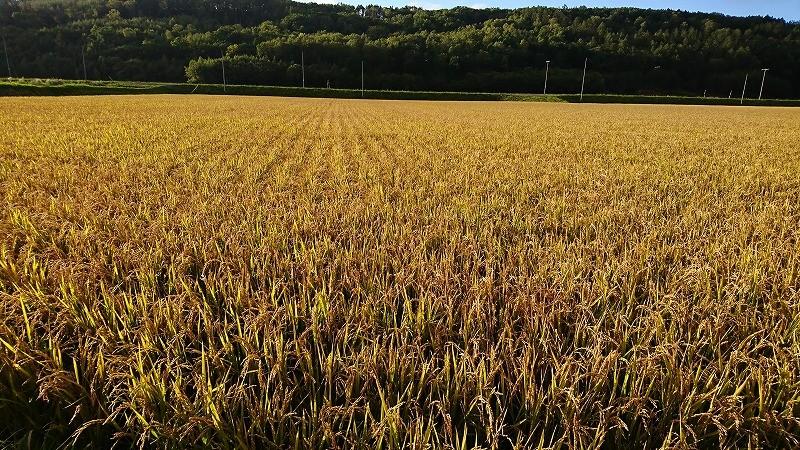 稲刈り直前の今井さんの田んぼ
