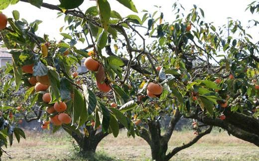 生産者の方からのメッセージ「台風にも負けず、おいしい柿が出来ました」