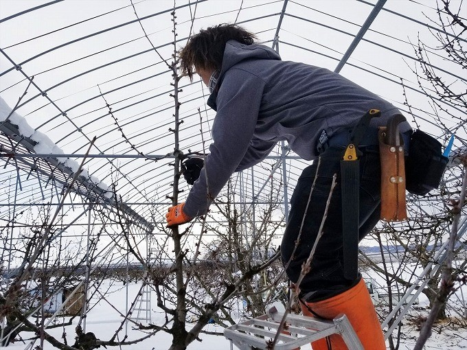 真冬の剪定は、おいしいさくらんぼを作るために大事な作業です