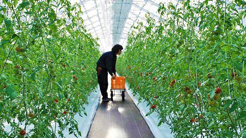 完熟朝採りの超トマト