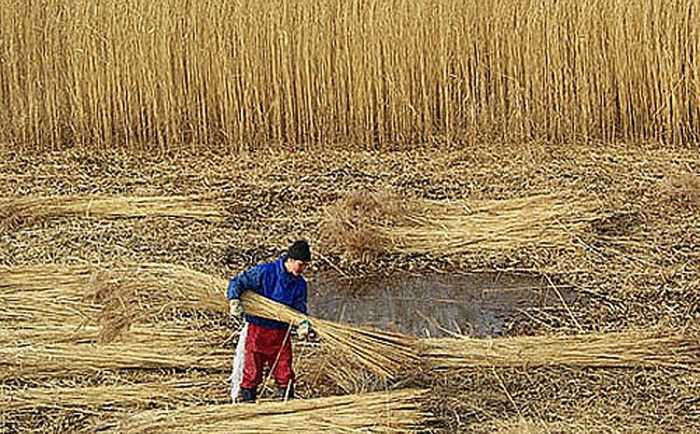 北上川の葦原