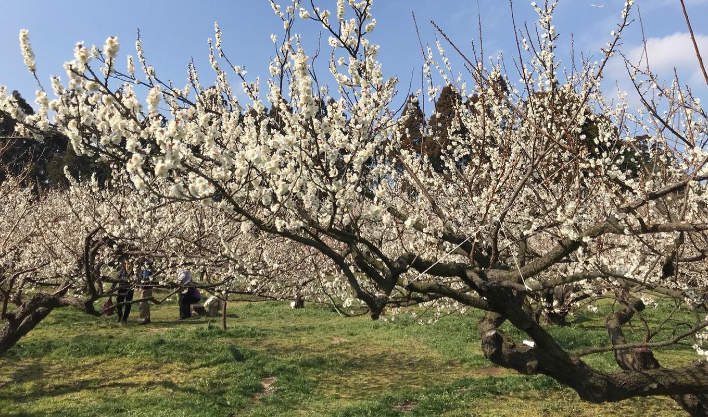 農家の方が梅の出荷用に栽培している、坂田城跡の美しい梅林。