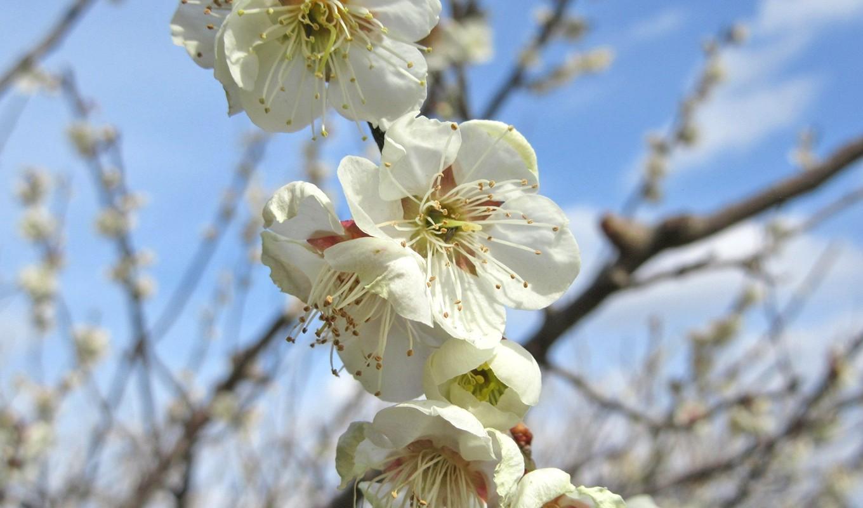坂田城跡の梅。毎年テレビのニュースで開花を報道されています。