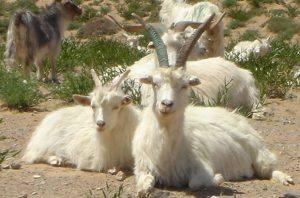 カシミヤは「カシミヤゴート」という山羊の毛