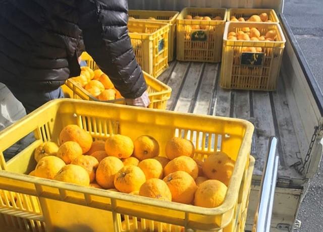 「柚子しぼりポン酢」の原料となるゆずが入荷