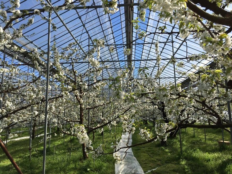 温室の中で満開を迎えるさくらんぼの花