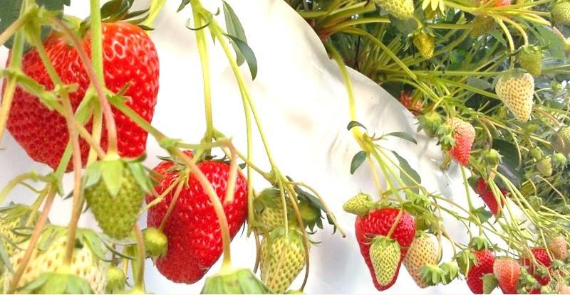 鈴木農園の「紅ほっぺ」イチゴです♪