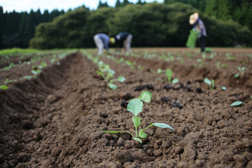 キャベツの苗植えの風景