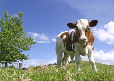 「ブラウンスイス牛」