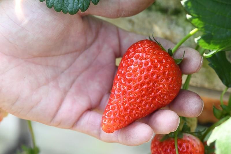 果肉が固く、食べると酸味は少なく甘さが口の中に広がります。