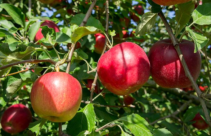 POINT2. 紅玉の美味しさを最大限生かしたりんごタルト