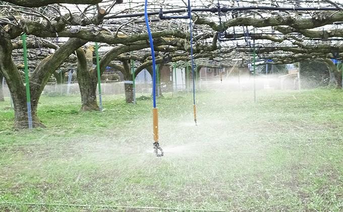 スプリンクラーによる灌水(春先)