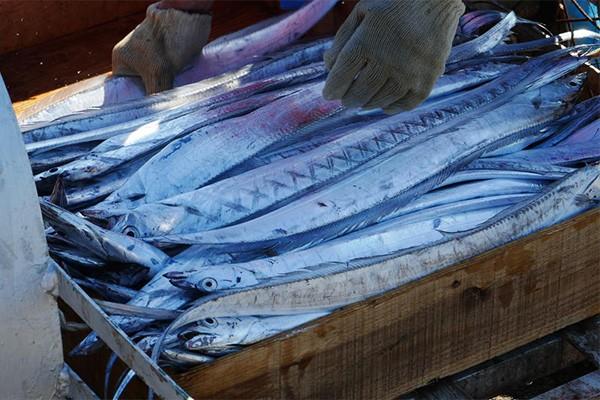 太刀魚漁獲量日本一!