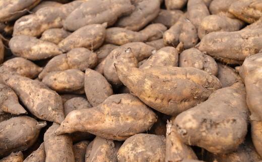 原料のさつま芋は、厳選の鹿児島県産『黄金千貫』