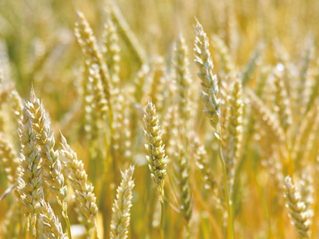 愛知県産の小麦粉・きぬあかりを使用しています。