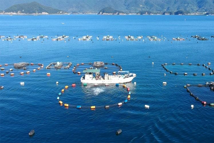 宿毛湾ではブリや真鯛など様々な種類の魚を養殖しています。