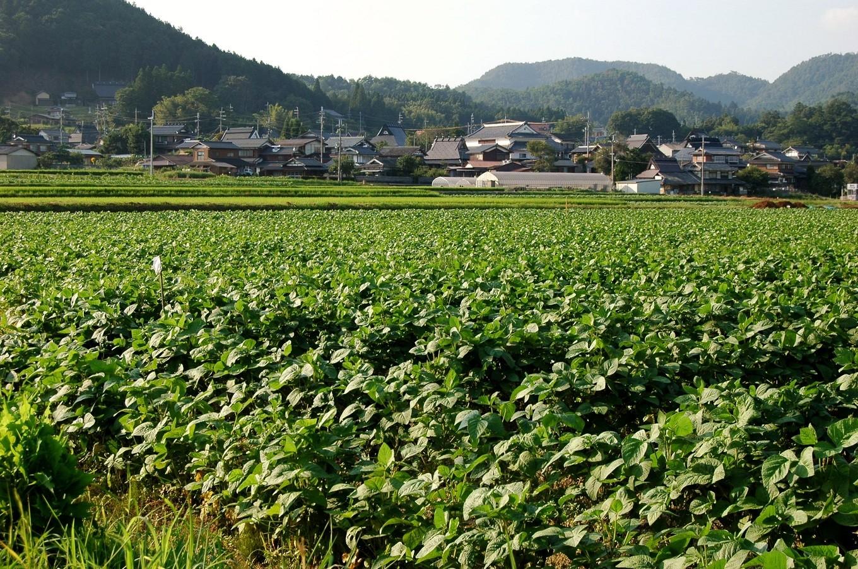 丹波黒大豆の一大生産地・京丹波町では、黒大豆畑が広がっています。