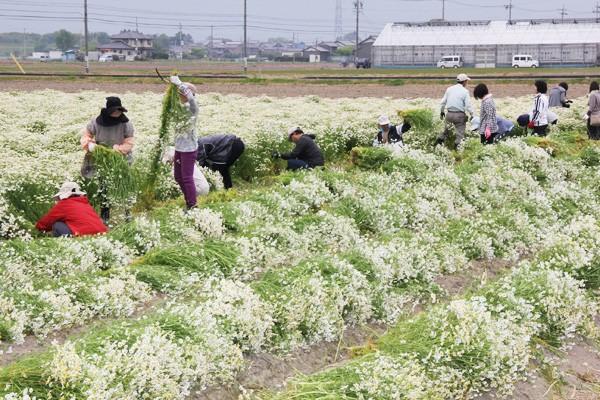 5月に行われたカミツレの収穫体験。一列に並び、根元から全草を刈り取る