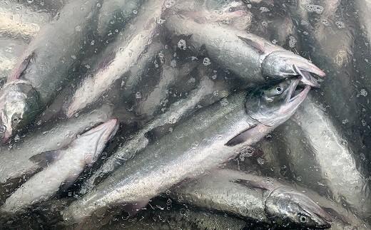 港横の漁協の施設で水揚げした日に新巻鮭に加工しています!
