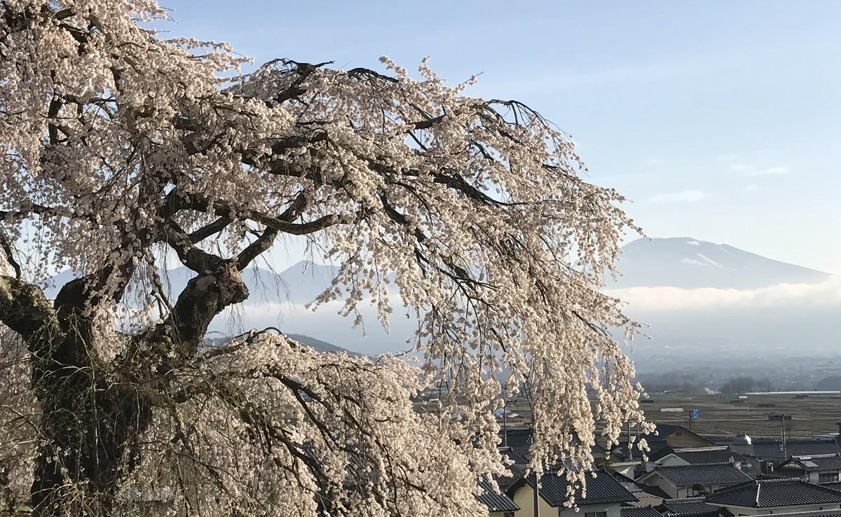 五郎兵衛記念館に咲く「関所破りの桜」から浅科の大地を見下ろす