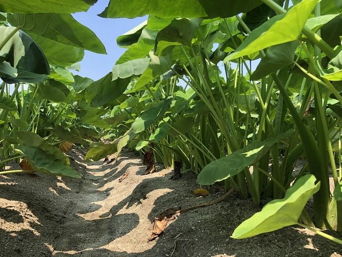 こちらが里芋畑です。乾きすぎず湿りすぎない土の水分管理が大事。