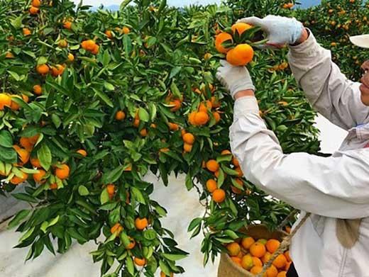 和歌山県有田地方で柑橘専業農家『南泰園』が育てた極早生・有田みかん