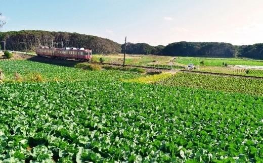 銚子電鉄とキャベツ畑