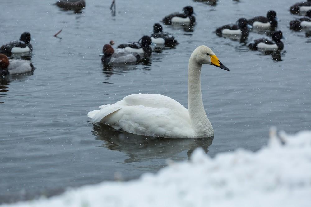 長峰大池の白鳥