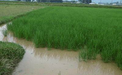 田んぼの水が濁っているのは、田んぼを守る微生物が活発な証拠です。