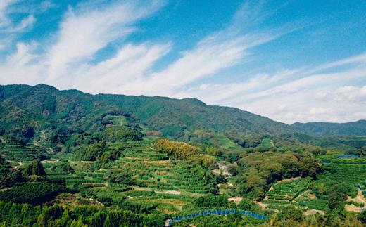 宇須々木地区の斜面は柑橘畑で埋め尽くされている