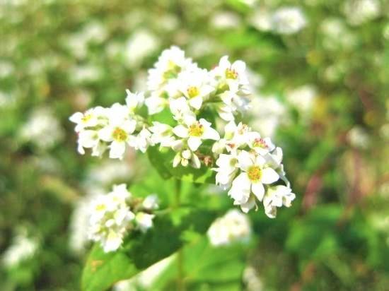白い綺麗な花が蕎麦の花です☆