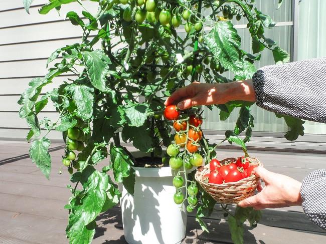 さ ミニ トマト 支柱 高