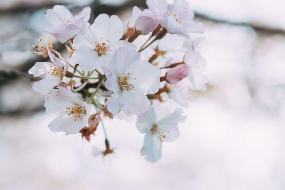 春は桜 桜といえば「  団平 」の 桜餅